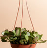 Trailing Jade Hanging Succulent in 6