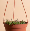 String of Pearls Hanging Succulent in 6