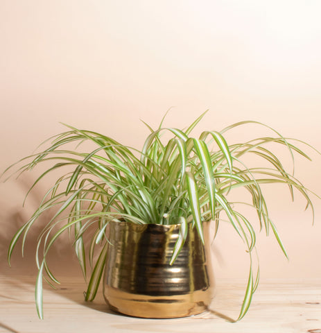 Chlorophytum comosum 'bonnie' Spider Plant House Plant in Handcrafted Gold Ceramic Planter