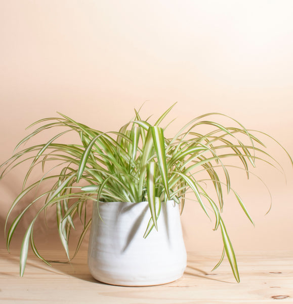 Chlorophytum comosum 'bonnie' Spider Plant House Plant in Handcrafted White Ceramic Planter