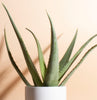 Aloe Vera in White Mid Century Cylinder Ceramic Planter