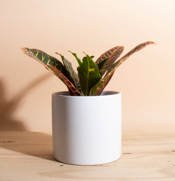 Croton Petra in White Mid Century Ceramic Cylinder Planter