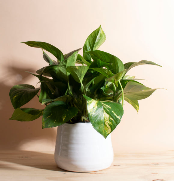 Pothos House Plant in Handcrafted White Ceramic Planter