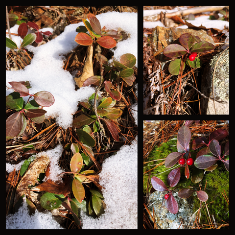 Collage of Eastern Teaberry plants