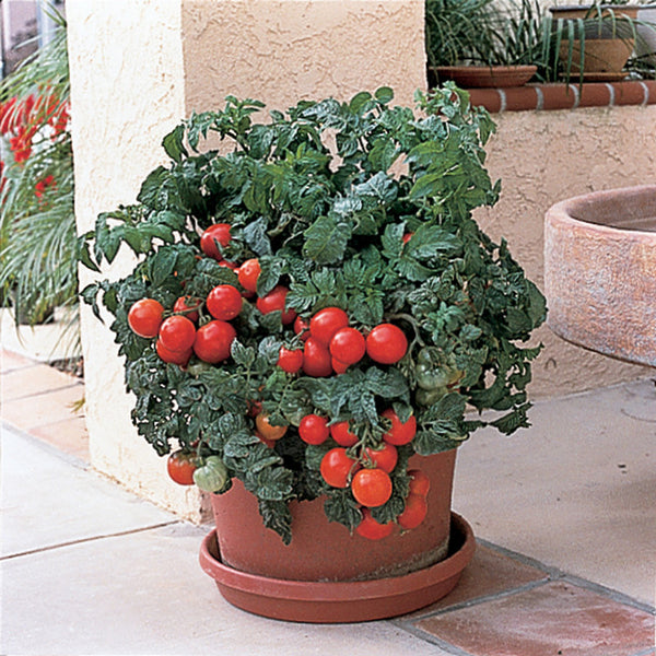 "Patio Tomato- 4"" pot"