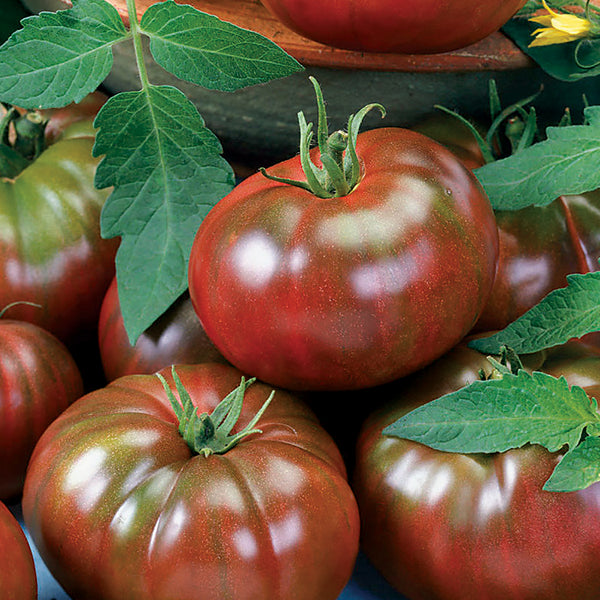 "Chefs Choice Black tomato- 4"" pot"