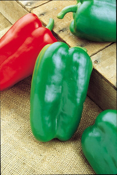 "Big Bertha Green Bell Pepper- 4"" pot"