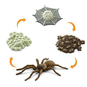 Life Cycle - Spider