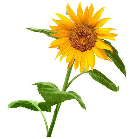 Grow Your Own Giant Sunflower