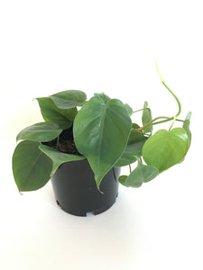 Heartleaf or Sweetheart Plant (Philodendron scandens)