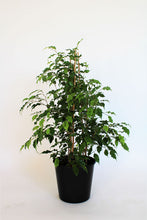 Load image into Gallery viewer, Ficus 'Golden Monique' (Variegated weeping fig)