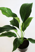 Load image into Gallery viewer, Giant Peace Lily (Spathiphyllum Wallisii)