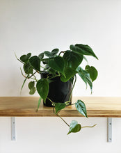 Load image into Gallery viewer, Heartleaf or Sweetheart Plant (Philodendron scandens)