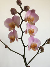 Load image into Gallery viewer, Phalaenopsis orchid (Gellerts Moth Orchid in pot)