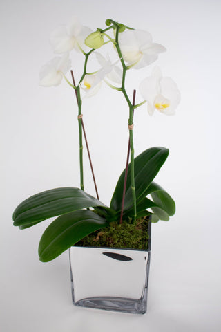 Double Stem Mini Phalaenopsis Orchid