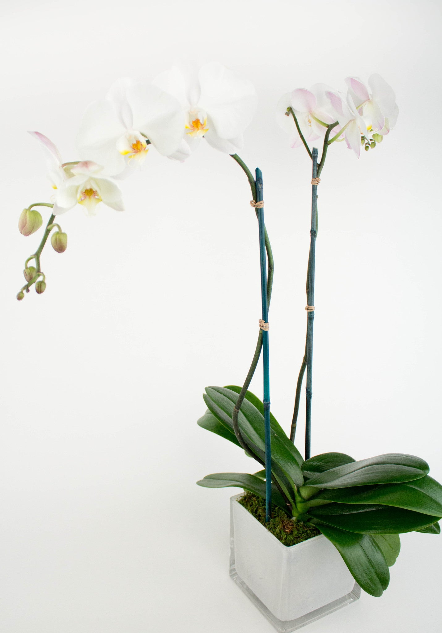 Double Stem Phalaenopsis Orchid
