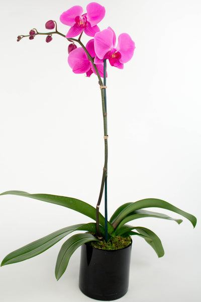 Single Stem Phalaenopsis Orchid