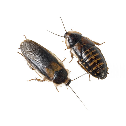 Male and Female Dubia Roaches