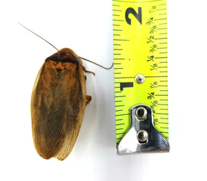 Adult Dubia Roach Measured