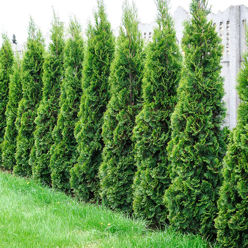 Arborvitae - Emerald Green - 5-6' - Balled and Burlapped