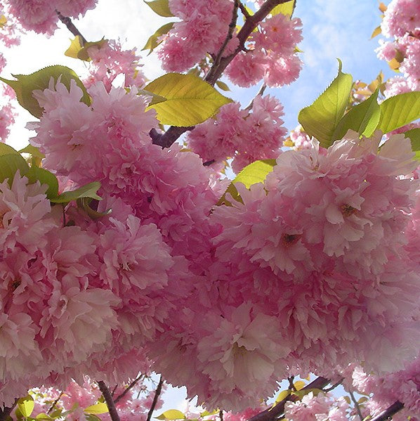Flowering Cherry - Kwanzan - Balled and Burlapped