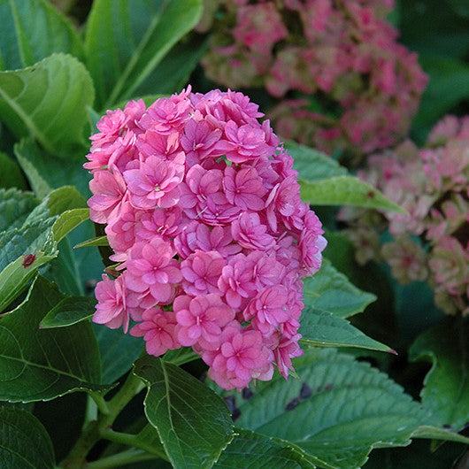Hydrangea - Forever & Ever® Together - 3 gallon