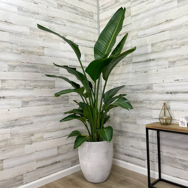 Bird of Paradise - White - 14-inch Pot