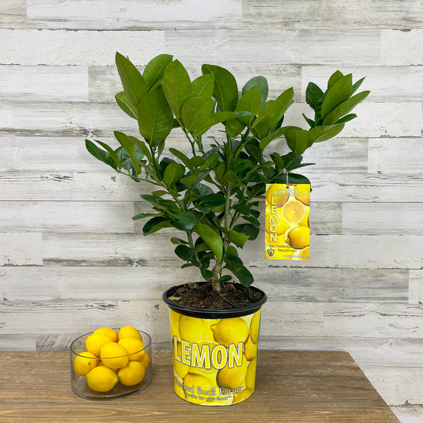 Lemon - Ponderosa - 3 gallon Pot
