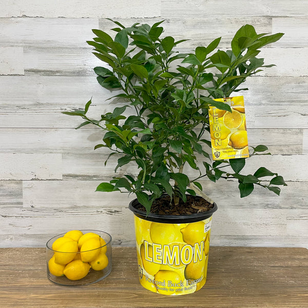 Lemon - Meyer - 3 gallon Pot
