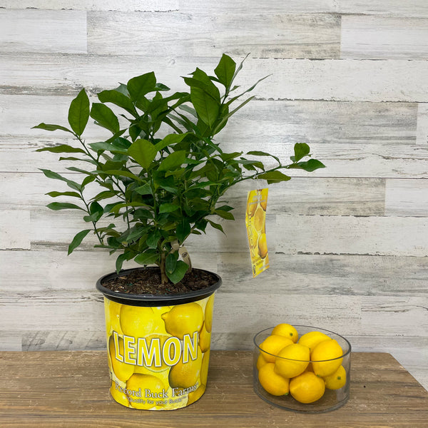 Lemon - Eureka - 3 gallon Pot