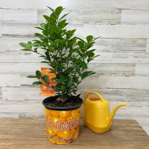 Orange - Calamondin - 3 gallon Pot