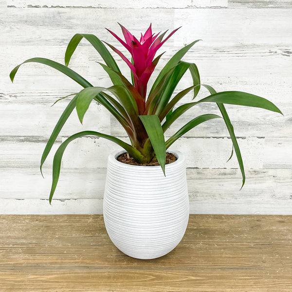 Bromeliad Single - Hot Pink - 6-inch Pot