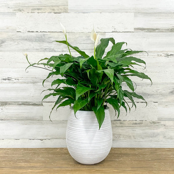 Peace Lily in - 6-inch Pot