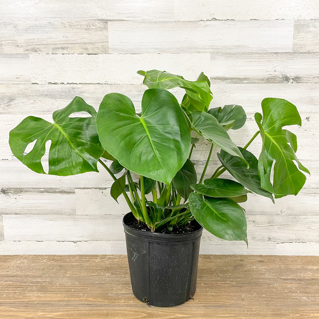 Philodendron - Monstera - 10-inch Pot