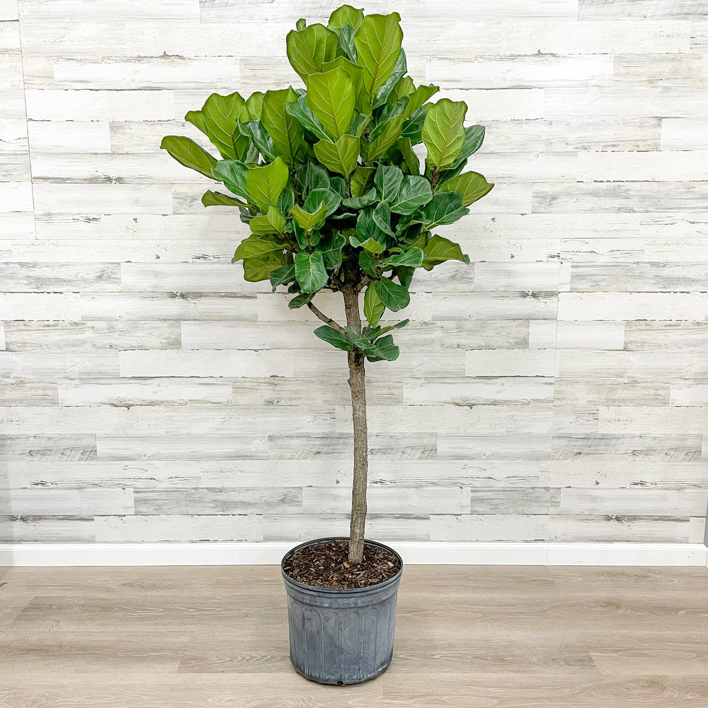 Fiddle Leaf Fig - Tree - 14-inch Pot