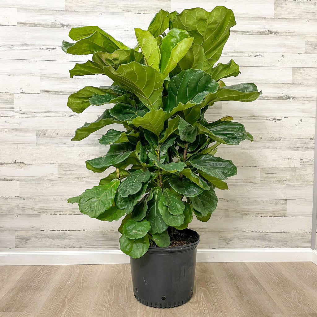 Fiddle Leaf Fig - Bush - 14-inch Pot