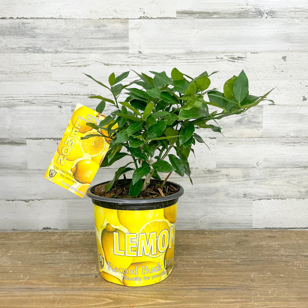 Lemon - Eureka - 1 gallon Pot
