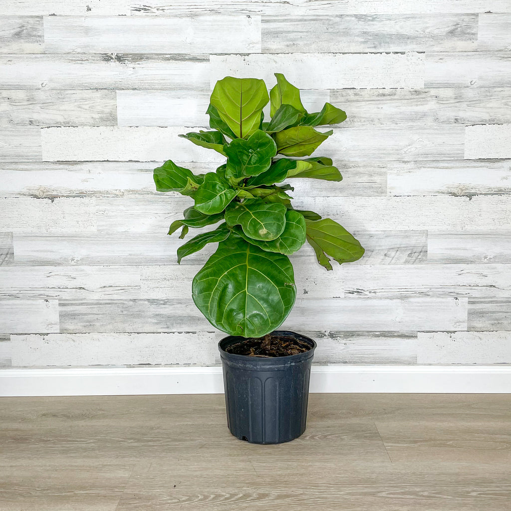 Fiddle Leaf Fig - Tree - 10-inch Pot