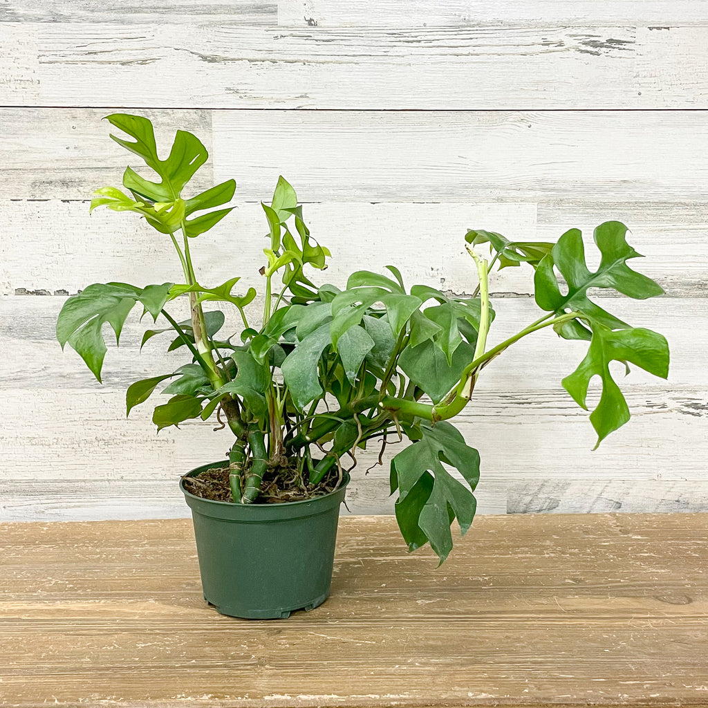 Mini Monstera - 6-inch Pot