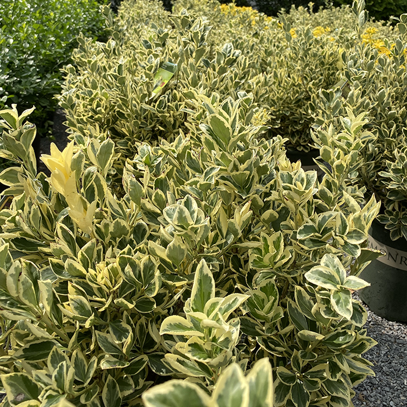 Euonymus - Silver King - 5 gallon
