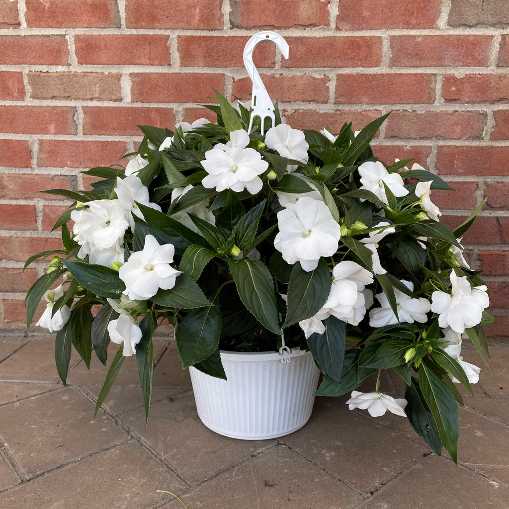 New Guinea Impatiens - 10-inch Hanging Basket
