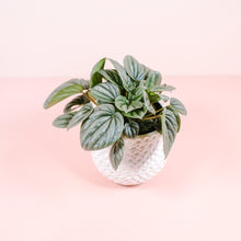 "Load image into Gallery viewer, 4"" Peperomia Frost"