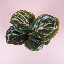 "Load image into Gallery viewer, 4"" Calathea Medallion Shining Star"