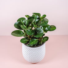 "Load image into Gallery viewer, 6"" Green Peperomia Obtusifolia"