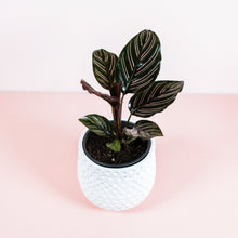 "Load image into Gallery viewer, 4"" Ornata Calathea - Pin Stripe Calathea"