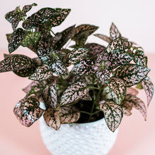 "Load image into Gallery viewer, 4"" Light Pink Polka Dot Plant - Hypoestes phyllostachya"