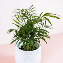 "Load image into Gallery viewer, 4"" Neanthe Bella Palm - Chamaedorea elegans"