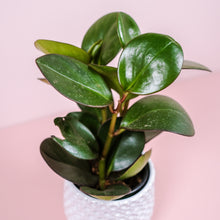 "Load image into Gallery viewer, 4"" Red Edge Peperomia"