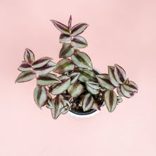 "Load image into Gallery viewer, 4"" Wandering Jew - Tradescantia zebrina"