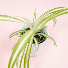"Load image into Gallery viewer, 2"" Variegated Spider Plant - Chlorophytum comosum"